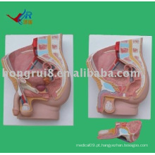 Modelo de anatomia sagital masculina (2 peças)