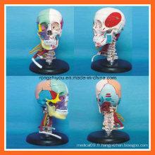 Modèle médical anatomique coloré par séparation d'os de crâne humain