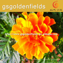 best selling hot chinese marigold
