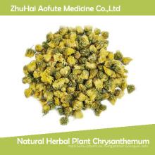 Crisantemo natural de las plantas herbarias