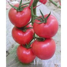 HT18 Xinpin semillas de tomate híbrido rosa f1 en venta