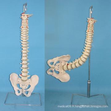 Vertège flexible humain avec modèle médical de squelette du pélvis (R020717)