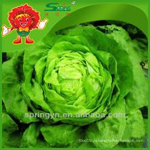 Салат-латук гидропонный салат свежий айсберг салат