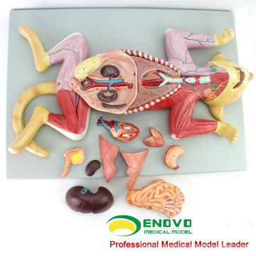 A29(12010) Plastic Medical Education Animal Anatomical Model of Cat 12010