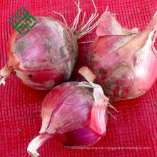 types of bulb fresh white onion