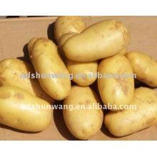 potato,fresh potato, 2015 potato, holland potato