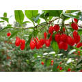 Wolfberry chinois, fruits secs, baies de Goji, phytothérapie chinoise