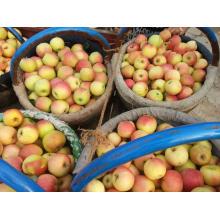 Gala nova da colheita 2015 Apple