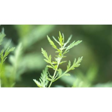 Sweet Wormwood Extract Artemisinin