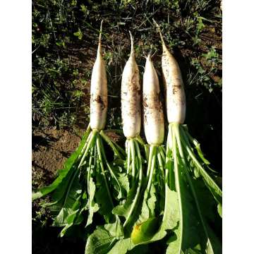 HIGH END FRES WHITE RADISH