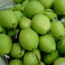 Couleur verte de la nouvelle culture de poire Shandong
