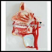 ISO 3-D Anatomie Modell des menschlichen Kopfes und Gesichtes