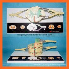 30 vezes amplie os modelos do sistema nervoso da medula espinhal