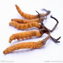 Extracto de Cordyceps Sinensis 100% natural