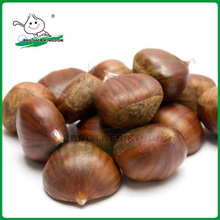 Wholesale chestnut /Horse chestnut/Chestnut from fty