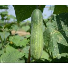 HCU04 Zhekuan 25 cm de comprimento, sementes de pepino híbrido F1 chinês em sementes de hortaliças