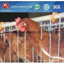 Gaiolas de galinha da camada de ovo da exploração avícola do preço da tomada de fábrica da estrela de prata