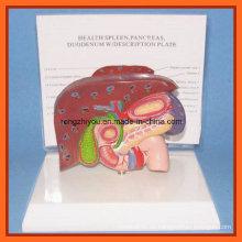Menschliche Leber, Milz, Bauchspeicheldrüse und Duodenum Modell mit Plastik Basis