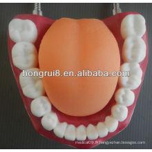 Modèle de soin dentaire médical de style nouveau, modèle dentaire humain