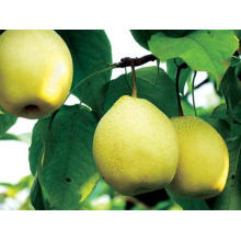 Export New Crop Fresh Good Quality Ya Pear