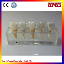 Dental Study Supplies Zahnklinik Modell