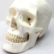 SKULL03 (12329) modèle médical d'anatomie de crâne pour la communication patiente