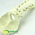WHOLESALE SIMULATION BONE 12322 Medical Anatomy Artificial Cervical Occipital Bone , Orthopaedics Practice Simulation Bone