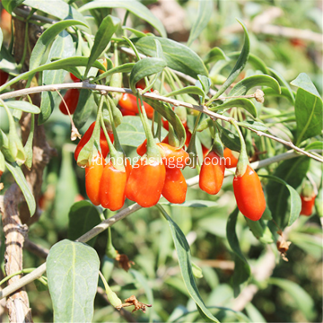 Goji Berry Vitamin Amino Acids