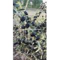 100% de baies noires et sauvages de Goji