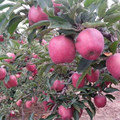 Huaniu Apple Fresh Red Delicious
