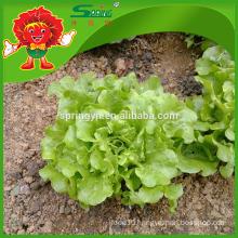 Fresh Quality Lettuce Iceberg Organic Certificated