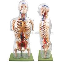 Modelo de corpo de anatomia humana transparente com órgãos internos, corpo modelo transparente