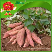 Proveedor de batata barato en China Nueva cosecha de patata dulce mejores verduras de calidad