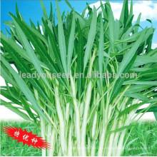 WS02 Guanglian white peduncle semillas de espinaca de agua para plantar