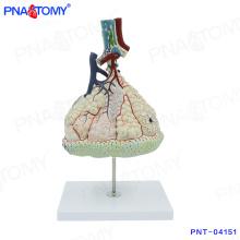 PNT-04151 Modèle de corps humain Modèle alvéolaire pulmonaire magnifié