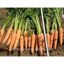 CA03 Hongguan средняя зрелость китайский гибрид семена моркови для посадки