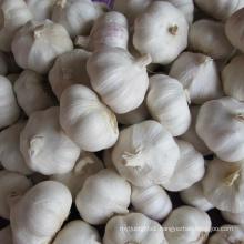 Garlic Ail Ajo Aglio Alho Knoblauch