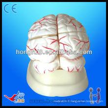Modèle anatomique médical de haute qualité de l'artère du cerveau humain et du cerveau Modèle de cerveau humain