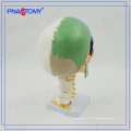 PNT-0153 Modèle de crâne coloré en 3 parties