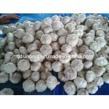 Normal White Garlic (5.5cm&up)