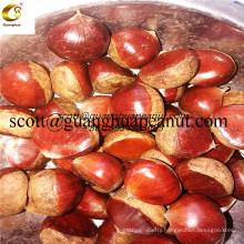 New Season Hot Export Chinese Fresh Chestnut for Roasting