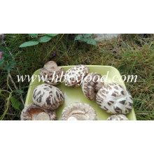Nourriture saine Shiitake Champignon blanc