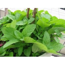 Peppermint Extract Pharmaceutical Peppermint Extract
