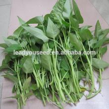 Semillas de la espinaca del agua del alto rendimiento de la hoja grande de MWS01 Baijin para las ventas