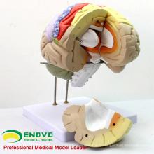 BRAIN08 (12406) Utilisation médicale avancée Modèle anatomique de cerveau grandeur nature 2X en 4 parties, modèles d'anatomie> Modèles de cerveau