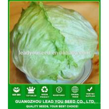 NLT051 Shebu high yield round lettuce seeds, quality iceberg lettuce seeds