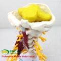 VERTEBRA02 (12385) Modèle de muscle et de nerf cervical grandeur nature de luxe de science médicale, modèles vertébral / vertèbre> Vertèbre cervicale