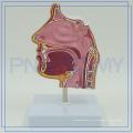 PNT-04361 le modèle anatomique médical de cavité nasale à vendre