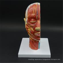 Wholesale 2017 new design New Style Anatomical Brain Model