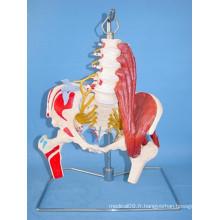 Modèle de squelette médical de la colonne vertébrale lombaire humaine et de l'artère (R020805)